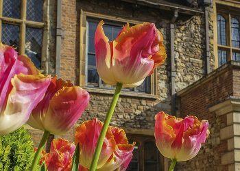 Master's Court tulips